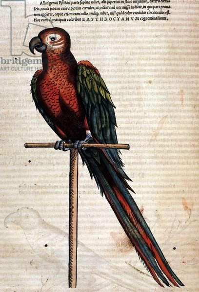 The parrot after the Historia Animalium by Conrad Gesner, Tiguri 1560. Biblioteca nazionale Braidense. Milan