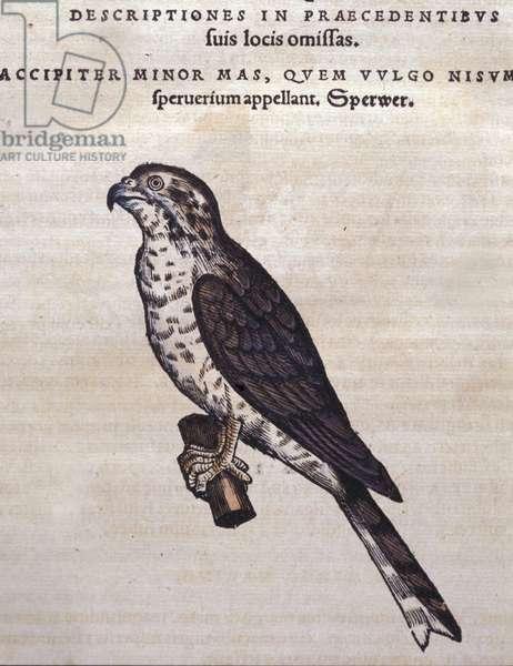 The hawk after the Historia Animalium of Conrad Gesner, Tiguri 1560. Biblioteca nazionale Braidense. Milan