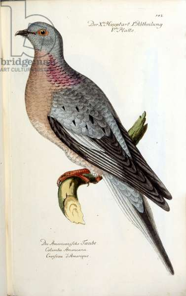 A migratory dove, now extinct. Zoological chart after Fritsch, 1743
