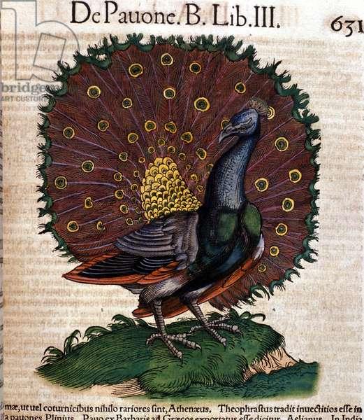 The peacock after the Historia Animalium by Conrad Gesner, Tiguri 1560. Biblioteca nazionale Braidense. Milan