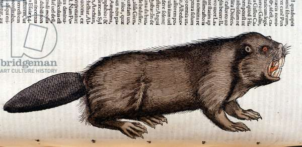 "Castor - in ""Historia Animalium"" by Conrad Gesner, Tiguri, 1560."