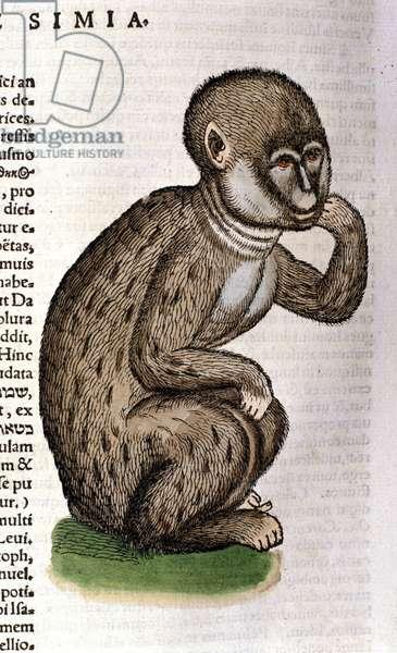 Monkey after the Historia Animalium by Conrad Gesner, Tiguri 1560. Biblioteca nazionale Braidense. Milan