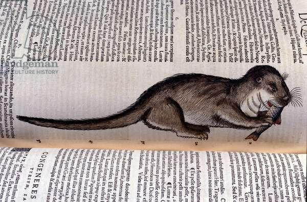 The otter - Historia Animalium by Conrad Gesner (1516 - 1565), Tiguri, 1560. Bibl. Nazionale Braidense, Milan.