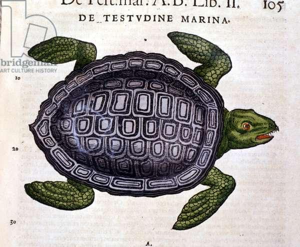 The sea turtle, according to the Historia Animalium of Conrad Gesner, Tiguri 1560.