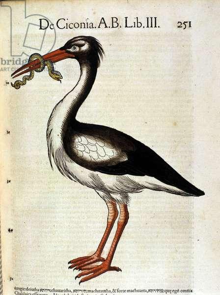 Stork after the Historia Animalium de Conrad Gesner, Tiguri 1560. Biblioteca nazionale Braidense. Milan