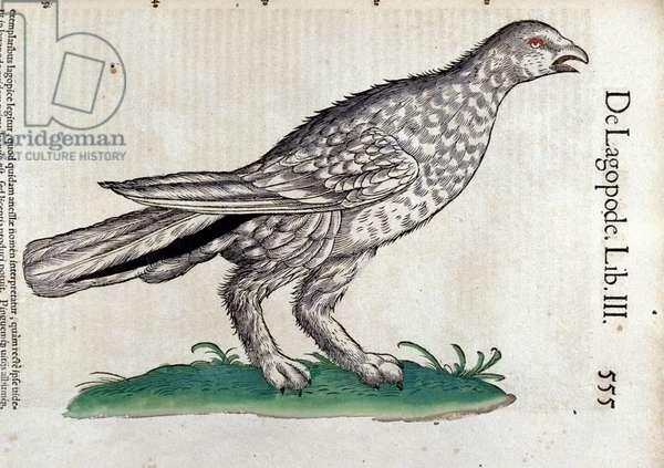 The ptarmigan in Historia Animalium by Conrad Gesner (1516 - 1565), Tiguri, 1560. Bibl. Nazionale Braidense, Milan.