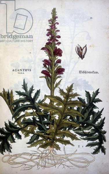 """Botanical plate: Acanthus or Acanthus - in """""""" De Historia Stirpium commentarii insignias"""""""" by Leonhart Fuchs, 1542."""