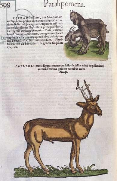 The deer in Historia Animalium by Conrad Gesner (1516 - 1565), Tiguri, 1560. Bibl. Nazionale Braidense, Milan.