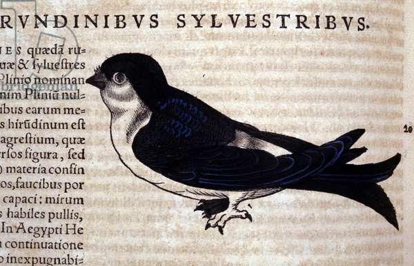 The Swift in Historia Animalium by Conrad Gesner (1516 - 1565), Tiguri, 1560. Bibl. Nazionale Braidense, Milan.