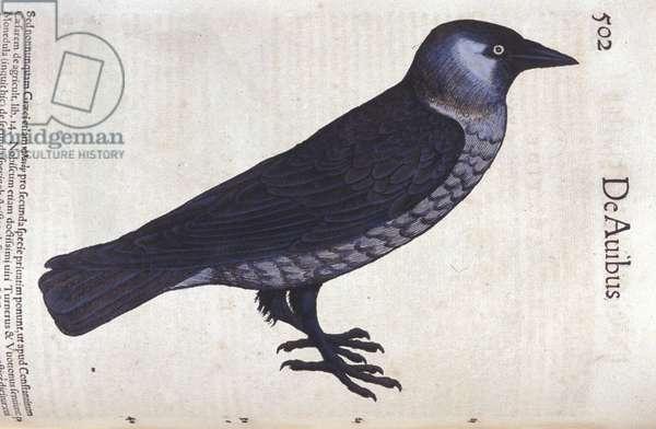 La choucas in Historia Animalium by Conrad Gesner (1516 - 1565), Tiguri, 1560. Bibl. Nazionale Braidense, Milan.