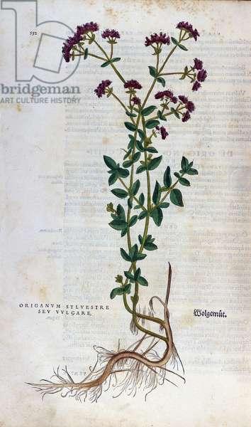 "Botanical board: Oregano (silvestre origanum sev. vulgare). Herbarium of Lheonard Fuchs, """" Historia Stirpium"""", Bale, 1543"