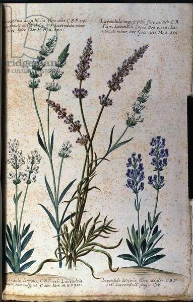 Botanical board: true lavender (Lavandula angustifolia) and aspic lavender (Lavandula latifolia).