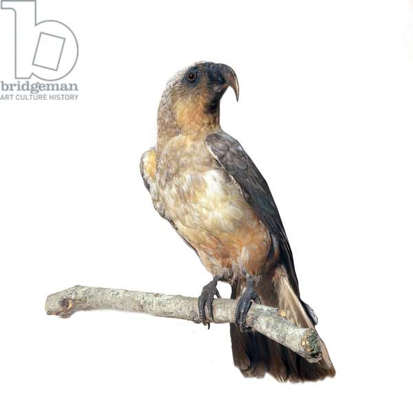 Ornithology: Norfolk nestor (Nestor productus) parrot disappeared from Norfolk Island. Copy stuffed at the British museum, London