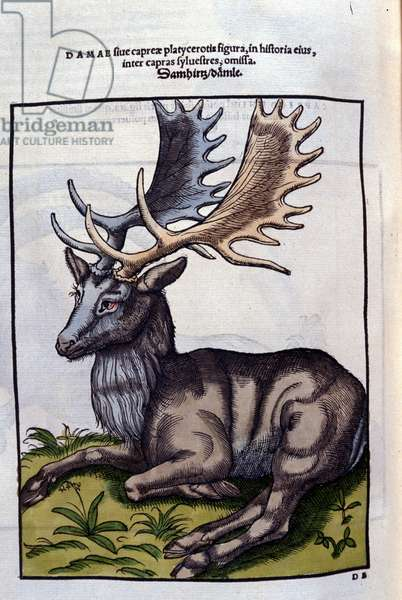 Un reindeer (cervidé) in Historia Animalium de Conrad Gesner (1516 - 1565), Tiguri, 1560. Bibl. Nazionale Braidense, Milan.