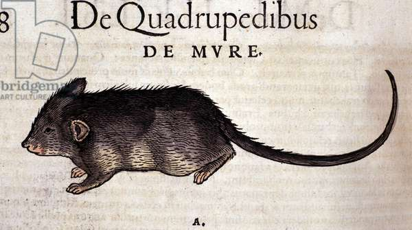 The rat after the Historia Animalium by Conrad Gesner, Tiguri 1560. Biblioteca nazionale Braidense. Milan