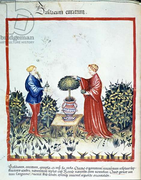 """Collect basil. Illumination from the trade of medicine and dietetics """""""" Tacuinum sanitatis"""""""" after the trade of medicine """""""" Kitabtaqwim as-sihha"""""""" (""""Kitabtaqwim as sihha"""") by Ibn Butlan, 14th century (Ms. Lat. 1673) Paris, B.N"""