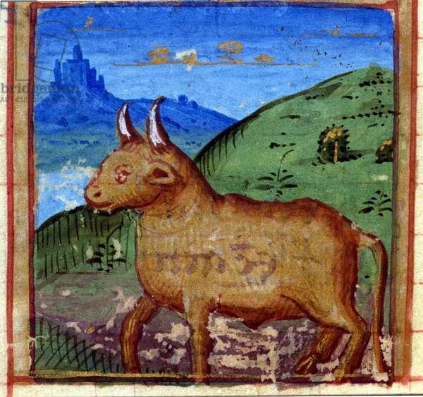 Sign of the bull. Italian Horoscope, mid-15th century.