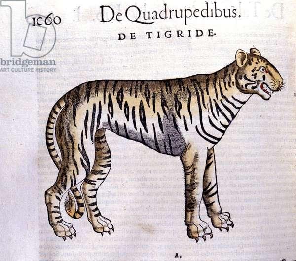 The tiger - in Historia Animalium by Conrad Gesner (1516 - 1565), Tiguri, 1560. Bibl. Nazionale Braidense, Milan.