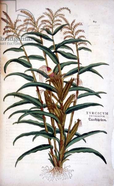 "The corn - in """" De Historia Stirpium commentarii insignia"""" by Leonhart Fuchs, 1542"