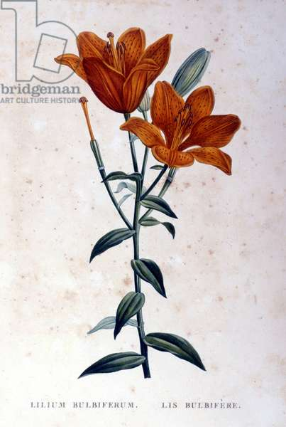 Red bulbiferous lily. 19th century engraving.