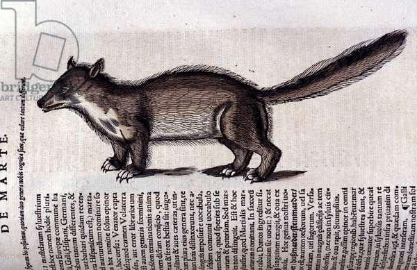 Fur Animal - in Historia Animalium by Conrad Gesner (1516 - 1565), Tiguri, 1560. Bibl. Nazionale Braidense, Milan.