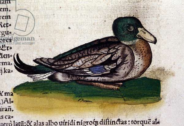 The Harle in Historia Animalium by Conrad Gesner (1516 - 1565), Tiguri, 1560. Bibl. Nazionale Braidense, Milan.