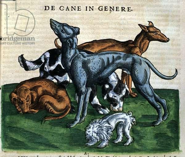 Dogs from the Historia Animalium by Conrad Gesner, Tiguri 1560. Biblioteca nazionale Braidense. Milan
