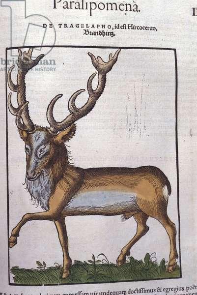 Deer after Historiae animalium by Konrad Gesner, Tiguri, 1555. Bibl. Nazionale Braidense, Milan.