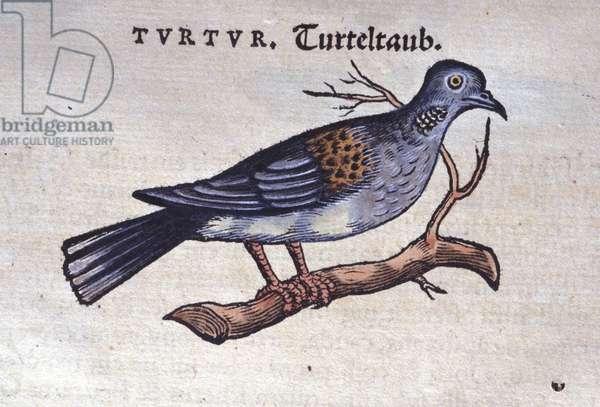 The dove - from Historiae animalium by Konrad Gesner, Tiguri, 1555. Bibl. Nazionale Braidense, Milan.
