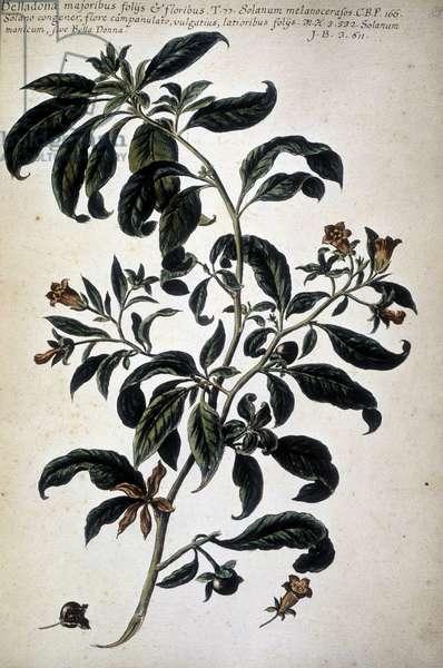 """Botanical chart: Belladona (Belladona Majoribus Folys) - In """""""" Historia botanica pratica, seu plantarum, quae ad usum medianae relevant, nomenclatura, descriptio et virtutes..."""""""" by Giovanni Battista Morandi (? - 1761)"""