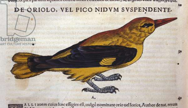 Le pic in Historia Animalium by Conrad Gesner (1516 - 1565), Tiguri, 1560. Bibl. Nazionale Braidense, Milan.