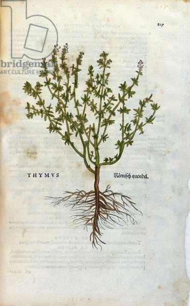 """Botanical plate: Thyme (Thymus) Herbarium by Lheonard Fuchs, """""""" Historia Stirpium"""""""", Bale, 1543"""