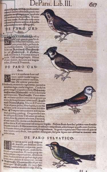 Passereaux in Historia Animalium by Conrad Gesner (1516 - 1565), Tiguri, 1560. Bibl. Nazionale Braidense, Milan.