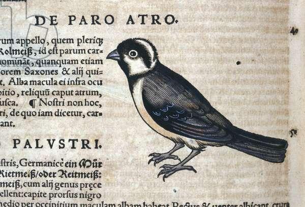 Black bird in Historia Animalium by Conrad Gesner (1516 - 1565), Tiguri, 1560. Bibl. Nazionale Braidense, Milan.