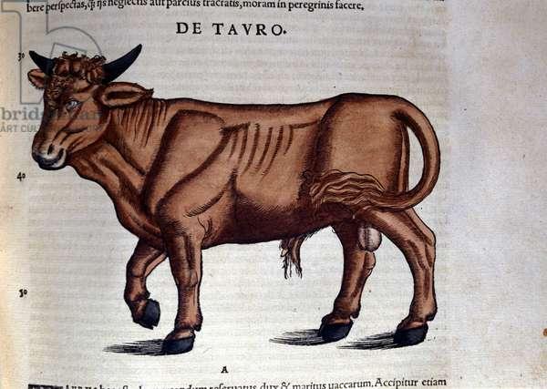 Le Taurus. in Historia Animalium by Conrad Gesner (1516 - 1565), Tiguri, 1560. Bibl. Nazionale Braidense, Milan.