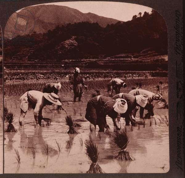 Workers transplanting rice shoots, Japan, c.1904 (b/w photo)