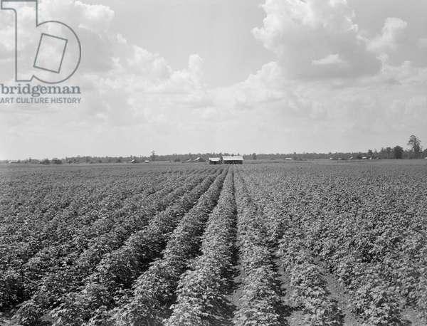 Delta Plantation Landscape, near Wilson, Arkansas, USA, 1938 (b/w photo)