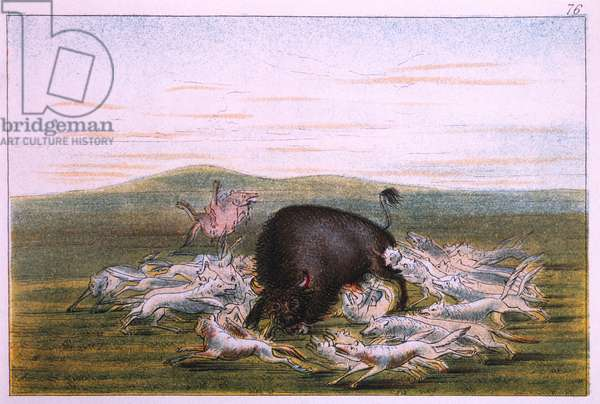 White Wolves Attacking a Buffalo Bull, George Catlin, Colored Drawing, 1831-32