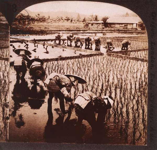 Workers planting rice, Japan, c.1905 (b/w photo)