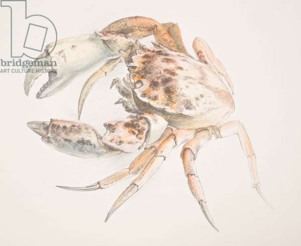 Crab from sketchbook, c.1981-82 (pencil & w/c)