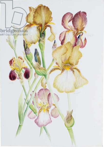 Irises (w/c)