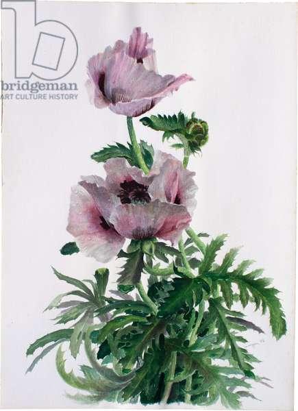 Oriental Poppy, 1986 (w/c)