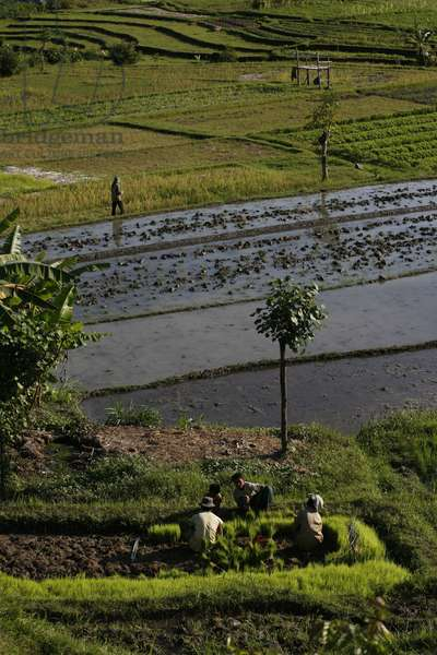 Rice farming in Bali, SEDIMEN, Indonesie