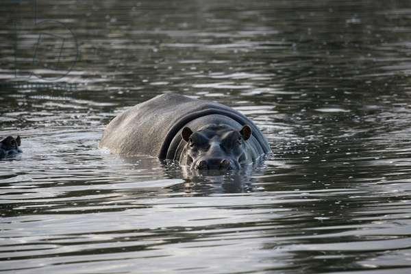 Ngala game parkBathing hippopotamus, Ngala, South Africa