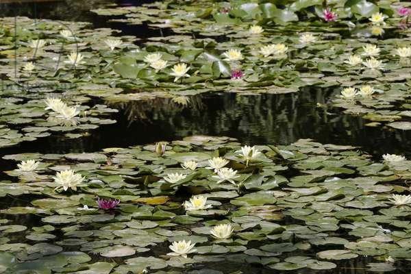 Majorelle Gardens, Water Lilies, Marrakech, Morocco