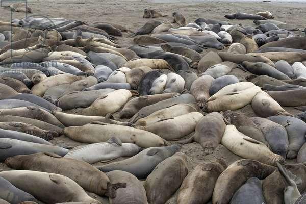 Sea elephants lying on a Big Sur beach, Monterey, United States
