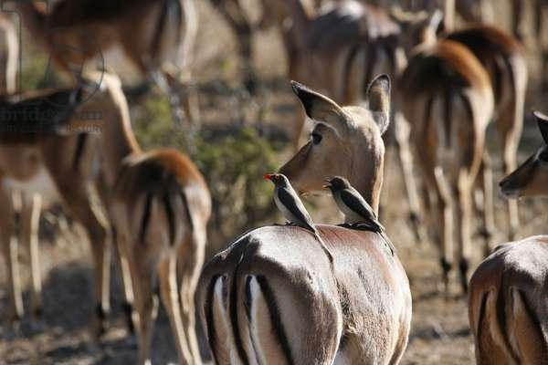 Ngala game park, Ngala, South Africa