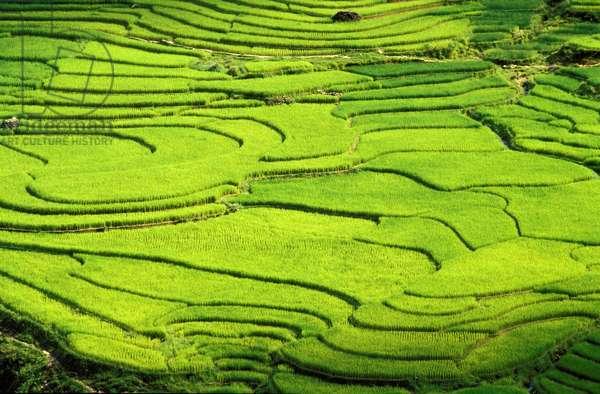 Rice fields in Sapa region, North Vietnam, SAPA, Vietnam