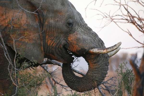 Madikwe game reserve : Safari African elephant, Madikwe, South Africa