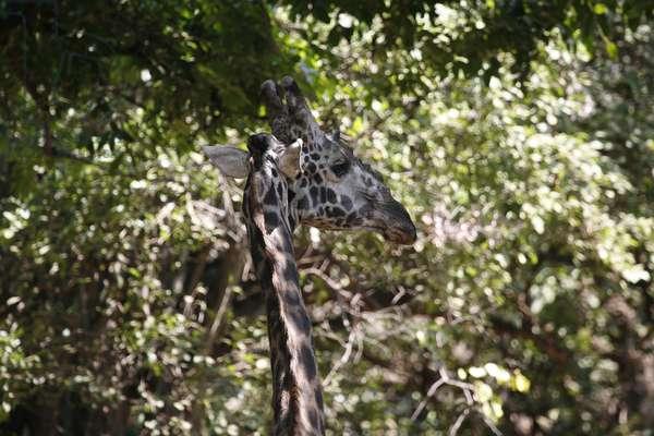 Girafe, , Tanzanie